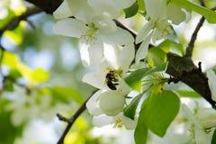 La abeja en una flor de la manzana blanca florece Imagenes de archivo
