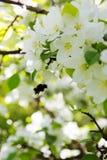 La abeja en una flor de la manzana blanca florece Imágenes de archivo libres de regalías