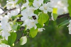 La abeja en una flor de la manzana blanca florece Imagen de archivo