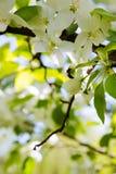 La abeja en una flor de la manzana blanca florece Imagen de archivo libre de regalías