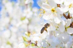 La abeja en una flor del blanco florece árbol Imágenes de archivo libres de regalías