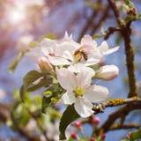 La abeja en una flor del ciruelo blanco florece Imagen de archivo
