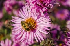 La abeja en una flor recoge el polen Fotos de archivo libres de regalías