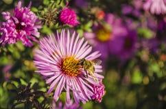 La abeja en una flor recoge el polen Foto de archivo