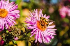 La abeja en una flor recoge el polen Imagen de archivo libre de regalías