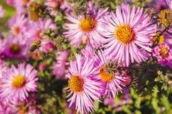 La abeja en una flor recoge el polen Fotografía de archivo