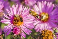 La abeja en una flor recoge el polen Fotografía de archivo libre de regalías