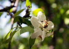 La abeja en una flor recoge la manzana de la miel, una flor polinizando Fotografía de archivo libre de regalías