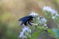 La abeja en una flor recoge imagen de archivo