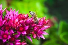 La abeja en verano rojo florece, foto natural Fotos de archivo libres de regalías