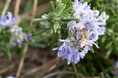 La abeja encendido remata una flor Fotos de archivo libres de regalías