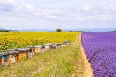 La abeja encorcha en campos de la lavanda, cerca de Valensole, Provence Fotos de archivo libres de regalías