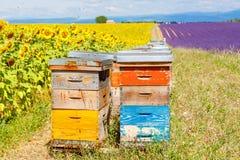 La abeja encorcha en campos de la lavanda, cerca de Valensole, Provence Imágenes de archivo libres de regalías