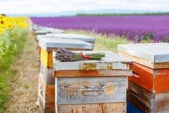 La abeja encorcha en campos de la lavanda, cerca de Valensole, Provence Imagen de archivo
