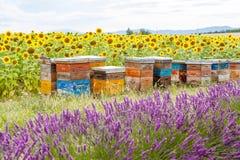 La abeja encorcha en campos de la lavanda, cerca de Valensole, Provence Fotografía de archivo libre de regalías