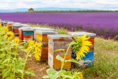 La abeja encorcha en campos de la lavanda, cerca de Valensole, Provence Fotos de archivo