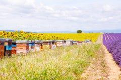 La abeja encorcha en campos de la lavanda, cerca de Valensole, Provence Foto de archivo