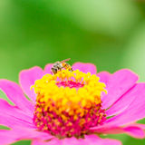 La abeja encuentra el agua dulce Fotos de archivo