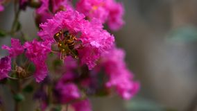 La abeja encuentra la miel en las flores del mirto de crespón foto de archivo