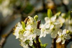 La abeja entra en una flor del ciruelo Fotografía de archivo libre de regalías