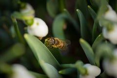 La abeja entre las hojas de los snowdrops blancos florece los nivalis de Galanthus Fotos de archivo libres de regalías
