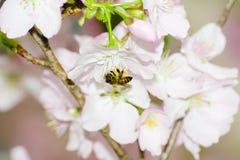 La abeja es al revés en los bossoms de la cereza Imagen de archivo