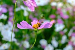 La abeja es de recogida y de consumición de las flores del cosmos Fotos de archivo libres de regalías