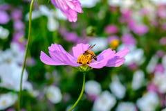 La abeja es de recogida y de consumición de las flores del cosmos Fotos de archivo