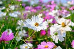 La abeja es de recogida y de consumición de las flores del cosmos Fotografía de archivo libre de regalías