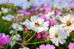 La abeja es de recogida y de consumición de las flores del cosmos Imagen de archivo