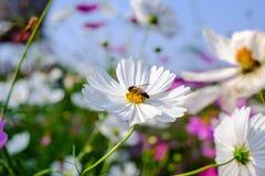 La abeja es de recogida y de consumición de las flores del cosmos Imagen de archivo libre de regalías
