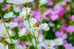 La abeja es de recogida y de consumición de las flores del cosmos Fotografía de archivo