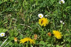 La abeja es se sienta en una flor del diente de león Foto de archivo libre de regalías