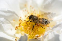La abeja está alimentando en el polen de la flor Imágenes de archivo libres de regalías