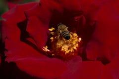 La abeja está alimentando en el polen de la flor Imagen de archivo