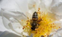La abeja está alimentando en el polen de la flor Fotos de archivo