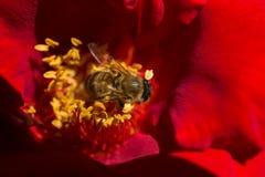 La abeja está alimentando en el polen de la flor Foto de archivo