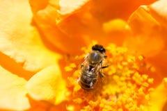 La abeja está alimentando en el polen de la flor Imagen de archivo libre de regalías