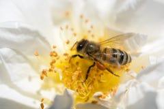 La abeja está alimentando en el polen de la flor Fotografía de archivo