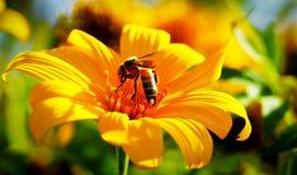 La abeja está alimentando en las flores amarillas Imagenes de archivo
