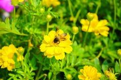 La abeja está buscando el agua dulce de las flores en el jardín Fotos de archivo libres de regalías