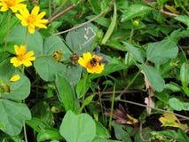La abeja está chupando el néctar Imágenes de archivo libres de regalías