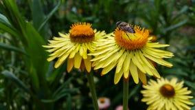 La abeja está chupando el néctar de las flores amarillas Foto de archivo
