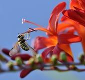La abeja está chupando el néctar de las flores rojas en el graden Fotografía de archivo
