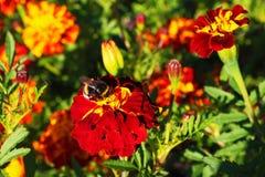 La abeja está chupando el néctar dulce del polen fotos de archivo libres de regalías