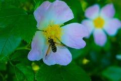 La abeja está dentro de la flor en la primavera Imagen de archivo