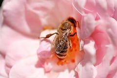 La abeja está en el centro de rosa del rosa Fotografía de archivo