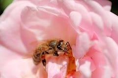 La abeja está en el centro de rosa del rosa Imágenes de archivo libres de regalías