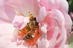 La abeja está en el centro de rosa del rosa Fotos de archivo