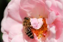 La abeja está en el centro de rosa del rosa Imagenes de archivo